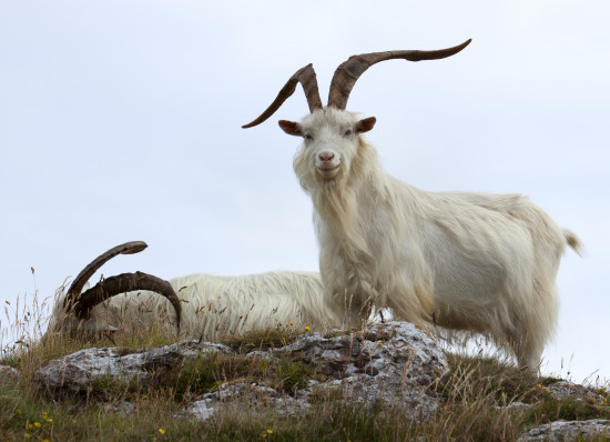 Military Budget, Goat Photo - The SITREP Military Blog